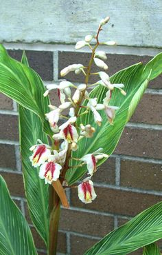 Alpinia formosana 'Pinstripe' - PS/Shade (2-3 hrs sun better), 4-6'x3-4', moist well drained soil, z8-10, flowers mid-may to mid july. e/green to upper 20's. bloom may/june. 3gall=$7; 7gall=$30.
