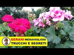 COLTIVARE I GERANI TRUCCHI E SEGRETI - YouTube Balcony Plants, Garden Plants, Garden Care, The Cure, Make It Yourself, Youtube, Flowers, Instagram, Hobby