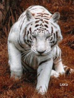 Белый тигр - анимация на телефон №1407355