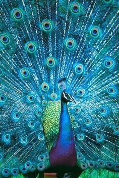 I think peacocks are stunning birds, but they absolutely scare me to death | A Collection of Photos