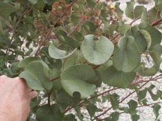 Cercis leaf