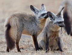 Bat-eared Foxes, Mara by Olivier DELAERE on Flickr. - http://fun.leakhunt.com/bat-eared-foxes-mara-by-olivier-delaere-on-flickr/ #andFunny, #bestLOL, #cars, #fineCars, #freeFunny, #Fun, #Funny, #funnyBirthday, #funnyChristmas, #funnyFlash, #funnyFree, #funnyFreeMonologues, #funnyGames, #funnyHalloween, #funnyJokes, #funnyMovies, #funnyNicknames, #funnyPics, #funnyPictures, #funnyPoems, #funnyPumpkin, #funnyPumpkinDesigns, #funnyQuotes, #funnyStuff, #funnyVideo, #funnyVideoCli