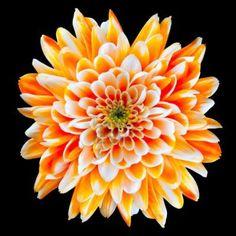 Chrysanthemum - symbolizes fidelity, optimism, joy and long life.  A red chrysanthemum conveys love  A white chrysanthemum symbolizes truth and loyal love