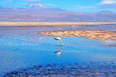 Close up of a flamingo in the Laguna Chaxa, Chile