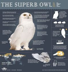 Snowy Owl (Bubo scandiacus) Infographic PBS Nature -- You can watch the Nature episode on PBS -- incredible creatures. Owl Facts, Animal Facts, Facts About Owls, Arctic Animals, Cute Animals, Animals Dog, Beautiful Owl, Nocturne, Tier Fotos