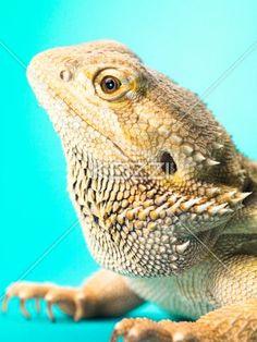 K Dragon Lizard Dragon Lizard, ...