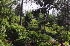 Tea growing and processing in Sri Lanka - Travel Photos by Galen R Frysinger, Sheboygan, Wisconsin
