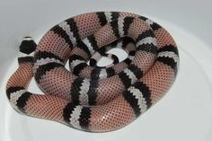 Anerythristic Honduran, 100% het Amel Cool Snakes, Cute Snake, Reptiles, Noodles, Cute Animals, Pets, Friends, Snakes, Macaroni