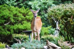 THE ONLY WAY TO MAKE YOUR GARDEN DEER PROOF - http://www.gardenpicsandtips.com/the-only-way-to-make-your-garden-deer-proof/