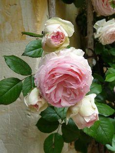 ♔ Rose Pierre de Ronsard