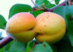 NATURE KISS – Kissing goes to the fruits now. Humans and animals have nothing on affectionate fruits. Eat Fruit, Fruit And Veg, Fruits And Vegetables, Weird Fruit, Funny Fruit, Funny Vegetables, Weird Shapes, Jolie Photo, Food Humor