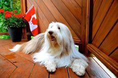 Canada Day Ginger #Canada #CanadaDay #Beardies #BeardedCollie #Collie #Dogs