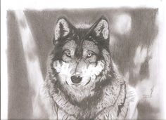 The Gray Wolf (pencil draw)