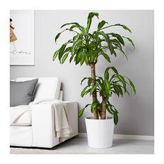 DRACAENA MASSANGEANA Potted plant  - IKEA