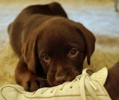 The Daily Puppy Betsy the Labrador Retriever