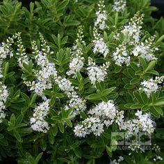 Hebe rakaiensis has clusters of large, white flowers in early and mid-summer. Buy quality shrubs online for fast UK delivery with a guarantee! Evergreen Shrubs, White Flowers, Annual Plants, Evergreen Plants, Plants Uk, Shrubs For Borders, White Flowering Shrubs, Garden Borders, Coastal Gardens