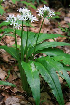Allium ursinum, Noxchi 7onkish