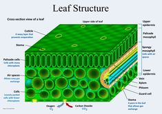 Plant Structure and Function Flower Structure, Leaf Structure, Structure And Function, Type Posters, All Poster, Black Phone Wallpaper, Cross Section, Plant Cell