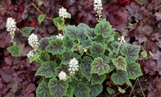 Tiarella 'Appalachian Trail' | GP Plants