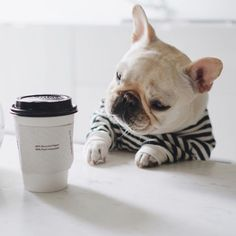 """""""Now why did they put Polly's name on this Cappuccino?"""".... """"Everybody knows my name is Piggy"""", Piggy the French Bulldog just loves swiping his sisters stuff! ; )"""