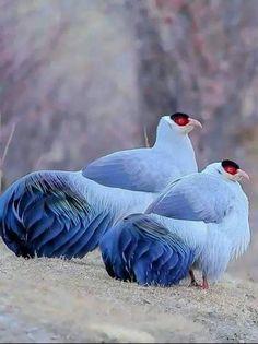 what a beautiful birds. Cute Birds, Pretty Birds, Beautiful Birds, Animals Beautiful, Funny Birds, Exotic Birds, Colorful Birds, Colorful Animals, Bird Pictures