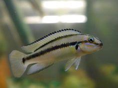 Telmatochromis  vittatus Malawi Cichlids, African Cichlids, Tropical Fish Aquarium, Fish Aquariums, Lake Tanganyika, Underwater Life, Exotic Fish, Freshwater Aquarium, Amphibians