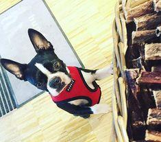 ...had a fantastic breakfast at @hundskerle #breakfast #dottiethebostie #bostonterrier #munichdogs #munichgirl #dogsofinstagram #petstore #doglife #bostonterriersofinstagram #breakfasttime #münchen #hund #hundeleben #bavaria #bavariangirl #bayern #hungrydog
