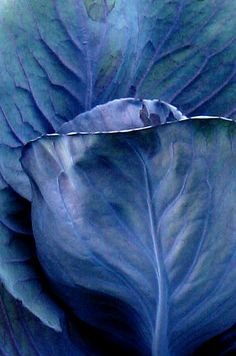 Blue Cabbage
