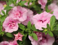 Find out the 17 biggest trends in plants, flowers and edibles from the trend-spotting Ball Horticultural Spring Trials.