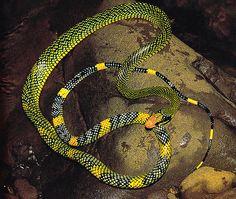 Rainbow Tree Snake Gonyophis margaritatus (