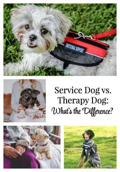What's the difference between a service dog, therapy dog, and Emotional Support Animal (ESA)? Check out this blog post to learn which one is right for you! via @everydaydogmom Dog Facts Interesting, Dogs With Jobs, Emotional Support Animal, Cute Dog Photos, Animal Antics, Therapy Dogs, Pet Travel, Smiling Dogs, Service Dogs