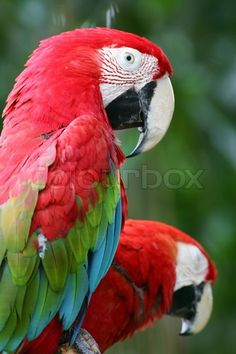 Stock image of 'Tropical Macaws'