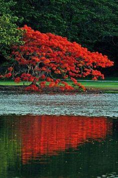 El bello Arbol de Flamboyan de Puerto Rico
