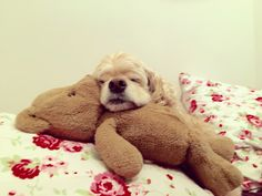 #DJ #americancockerspaniel #cockerspaniel #cocker #spaniel #cute #dog #DJBilham
