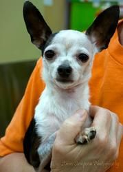 Oliver is an adoptable Chihuahua Dog in Roanoke, VA. Hi!� I'm Oliver and I was turned into the shelter by my previous owner.� I am a sweet tiny little guy whose foster mom says I'm the greatest.� I lo...