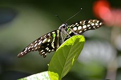 Graphium agememnon on translucent sunny leaf | The tailed ja… | Flickr - Photo Sharing!