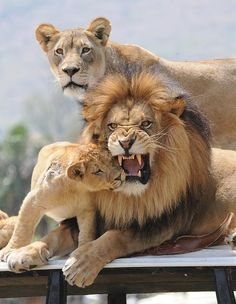 """Lion family...so majestic! (""""don't mess with MY family"""")"""