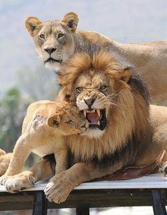Lion family...