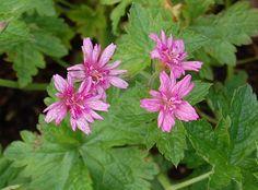 Hardy Geranium 'Southcombe Double' (Geranium x oxonianum)