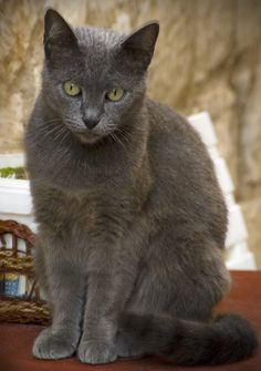 This cat looks amazingly like my Ralphie. But, alas, Ralphie passed away about 15 years ago. Cute Little Animals, Cute Funny Animals, Funny Cats, Grey Cats, Blue Cats, Ziggy Stardust, Russian Blue, Ozzy Osbourne, Cat Boarding