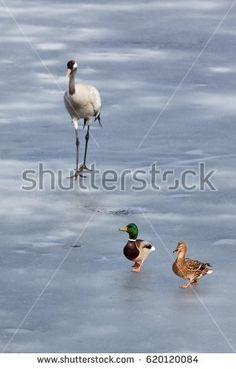 Stock Photo: Mallard couple running away a common crane on the ice of frozen lake. -