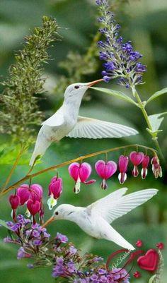 White hummingbirds?