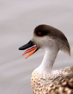 Patagonian Crested Duck.
