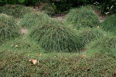 Casuarina glauca 'Kattang Karpet' Alpine Plants, Nursery, Herbs, Gardens, Ideas, Babies Rooms, Herb, Baby Room, Child Room