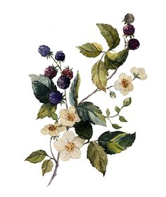 blackberry watercolor by Анастасия Зенина, via Behance
