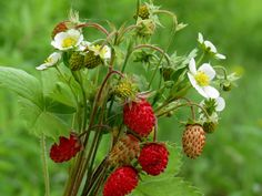 Early Summer strawberries