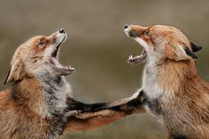 NATIONAL GEOGRAPHIC fox PICTURES - Bing Images