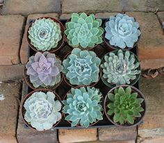 Large rosette shaped Echeveria types in their round plastic containers. Great for Events as centerpieces and table decor, or enjoy at home! These succulents are big, we can also sell them as rosett Succulent Cuttings, Cacti And Succulents, Planting Succulents, Planting Flowers, Air Plants, Garden Plants, Indoor Plants, House Plants, Indoor Garden