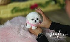 cute teacup puppies Welcome to FouFou Puppies. The Home of the World's Most Exquisite Teacup Maltese for Sale. Contact Us Today to Reserve Your Puppy! Ask for Our 'Special Order' Option. We Can Locate Your Dream Puppy! Teacup Maltese For Sale, Maltese Puppies For Sale, Teacup Puppies For Sale, Fluffy Puppies, Black Lab Puppies, Maltese Dogs, Little Puppies, Teacup Dogs, Corgi Puppies