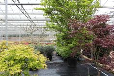 A variety of Acers growing in our Hampshire glasshouses